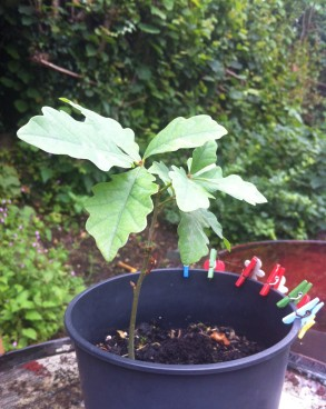 My 2 year old Oak seedling grown from an acorn
