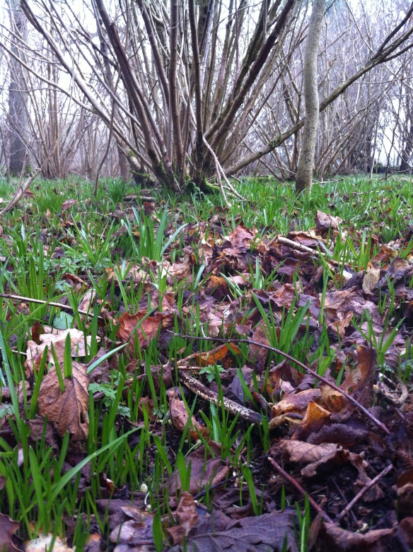 Spring has sprung...The floor of this coppice woodland starting to wake up after a cold winter