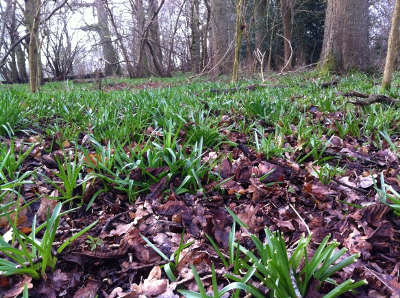 Young bluebells start to turn the woodland floor from brown to the lush green of spring