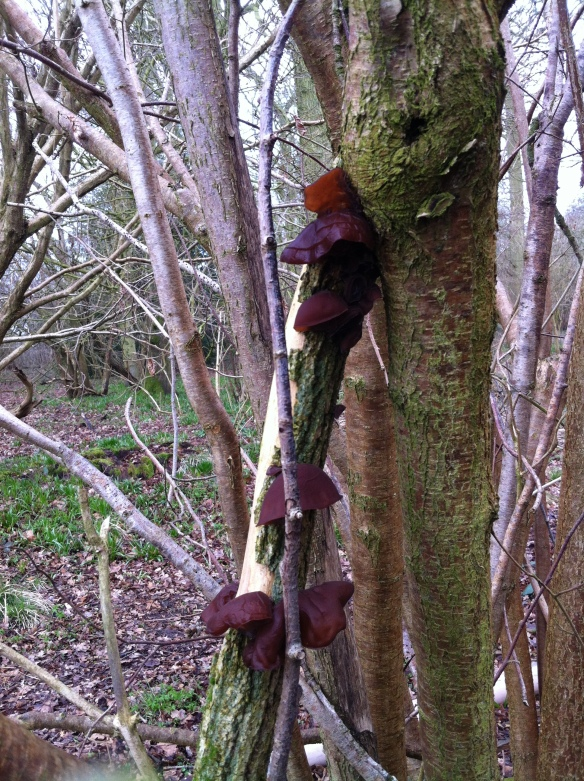 Jews ear fungus observed on dead elder all over the woodland