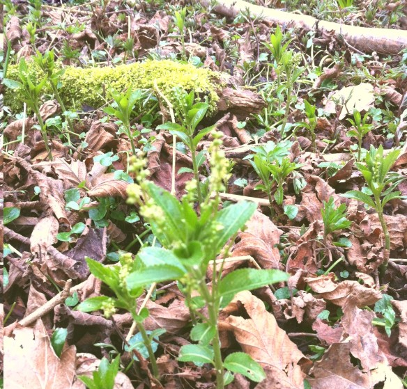 Young dog's mercury emerging in early spring