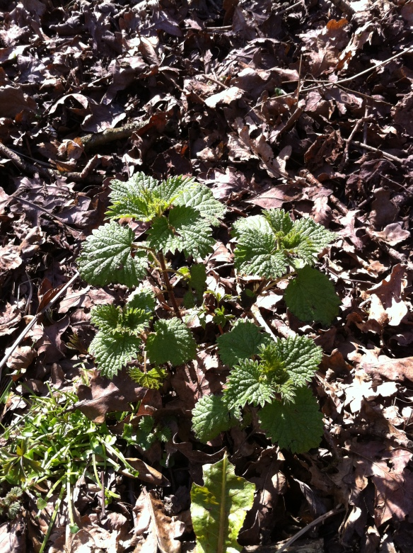 Young nettles emerging from the woodland floor