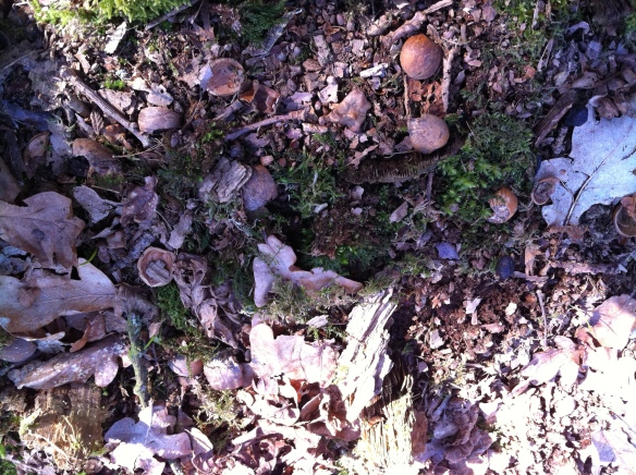 Discarded shells on a decomposing tree stump showing characteristic signs of squirrel feeding