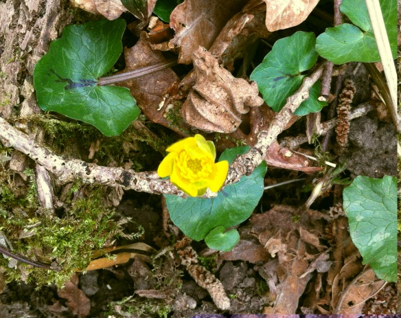 Lesser celandines adding to the spring colour on the woodland floor