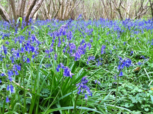 Bluebells carpeting the woodland floor