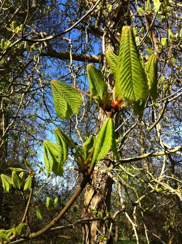 Young horse chestnut leaves