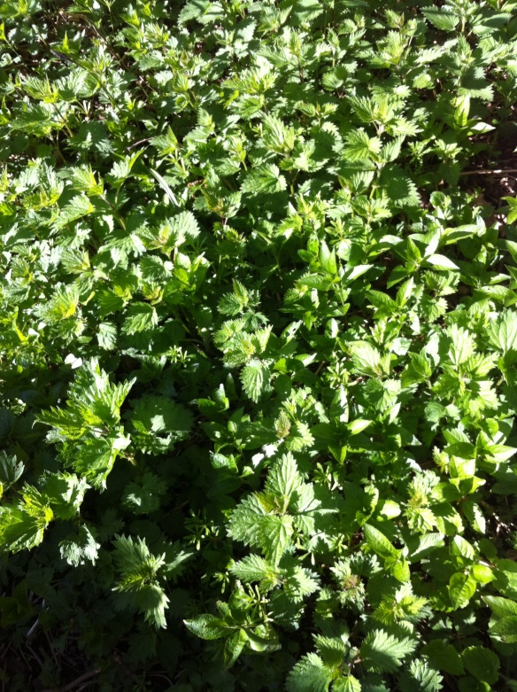 Young nettles emerging all over the woodland floor