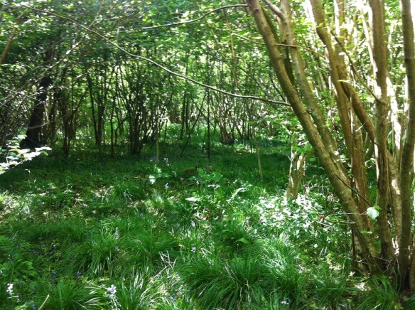 The green woodland floor is a dramatic change from last week's carpet of bluebells