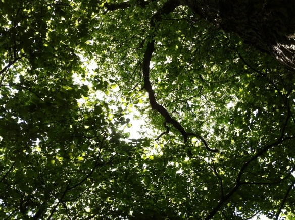 Looking up through the coppice canopy