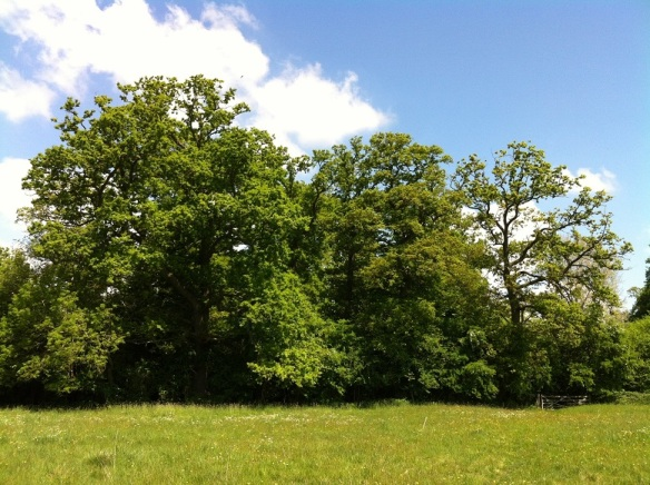 Oak trees now in leaf on the boundary of the coppice woodland