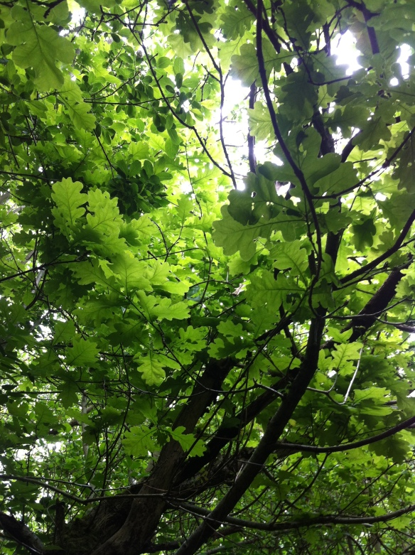 Looking up through the oak canopy