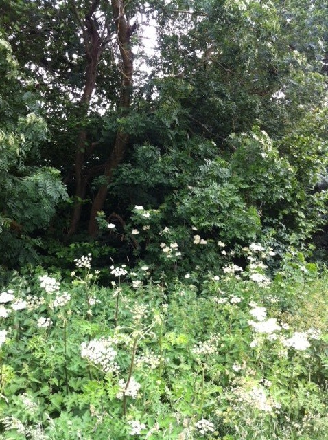 Cow Parsley growing on the banks of the ditch on the woodland boundary
