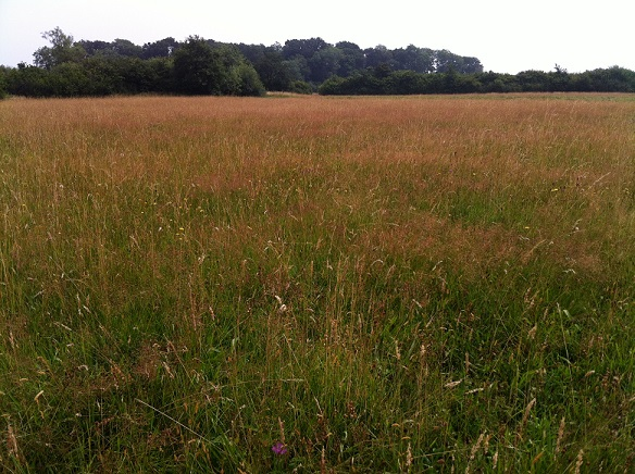 Meadow grasses on the approach to the woodland