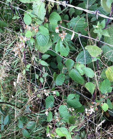 Blackberry flowers and the beginnings of fruit production
