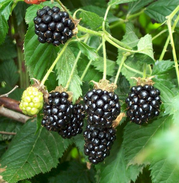 blackberries-04